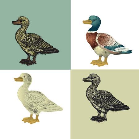 poult: ilustraci�n. Pato pintada y la imitaci�n de grabado de madera y la xerograf�a de color