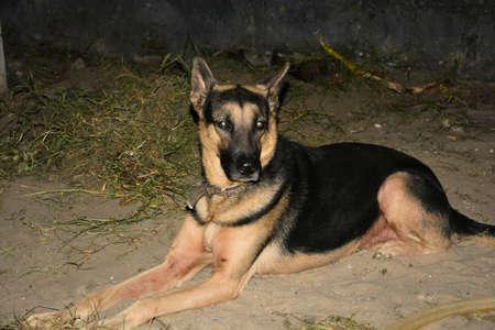 A sitted german shepherd dog