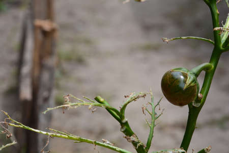 A dying Nigerian Green egg plant