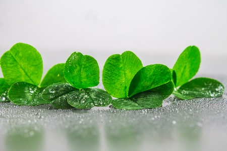 luckiness: Clover leaves on a gray background with droplets of water. St.Patrick s Day Stock Photo