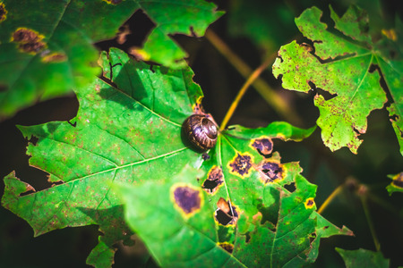 the snail slowly crawls over the green maple leaf