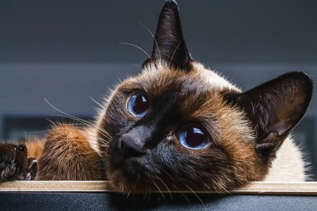 Siamese Thai cat looks carefully away. Portrait of a cat with blue eyes. Stock Photo