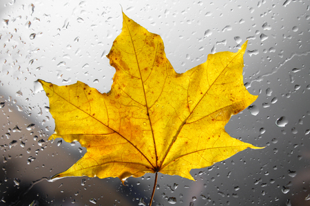 Yellow autumn maple leaf on a rainy window. The concept of Fall seasons