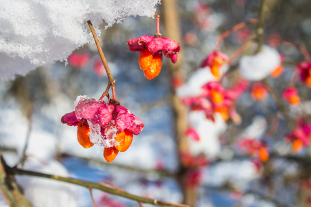 Red berries on the branch during sunset, European spindle, Euonymus europaeus with snow