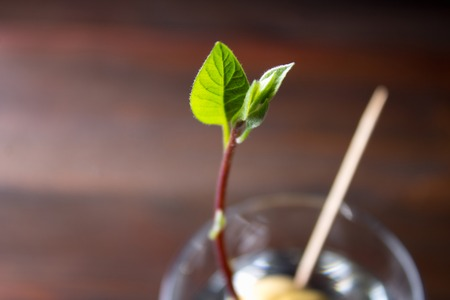 The avocado sprout grows from the seed in a glass of water. A living plant with leaves, the beginning of life on a wooden table