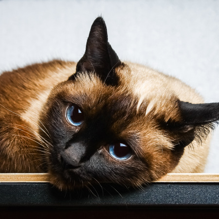 Siamese Thai cat lies and looks into the camera, in the frame, in the soul. Sadness, melancholy, loneliness