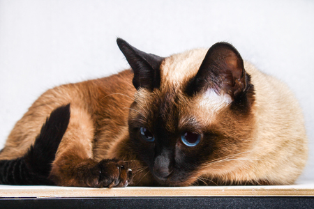 Siamese Thai cat lies and looks with sadness, anguish, anger