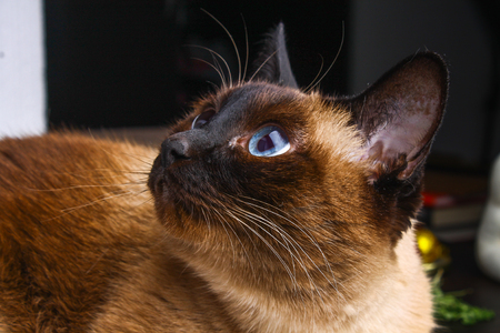 Siamese Thai cat looks carefully away. Portrait of a cat with blue eyes