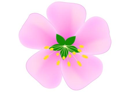 Pink sakura flower vector image on white background. Illustration