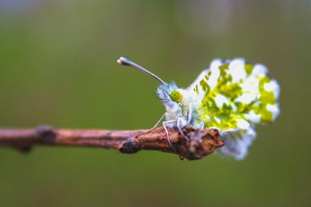 Female Anthocharis cardamines butterfly sitting on Plantago lanceolata Ribwort Plantain