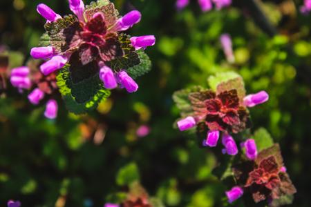 Purple dead nettle Lamium purpureum with green grass in a background Stock Photo