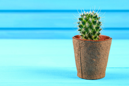 Beautiful big green cactus in a brick pot against the blue wood wall Stock Photo