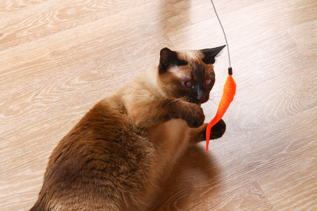 Siamese or Thai cat plays with a toy. A disabled cat bites and scratches a toy. Three paws, no limb