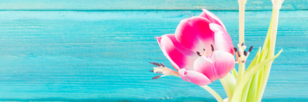 Withered pink tulips in a white vase on a blue wooden background. Stock Photo