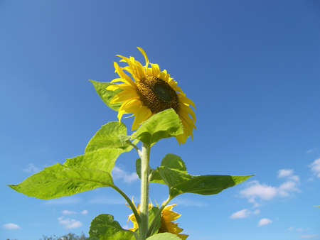 the sunflower and the sky Stock Photo - 547190