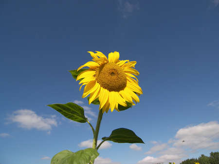 happy sunflower Stock Photo - 559715