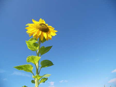 sunup: happy sunflower Stock Photo