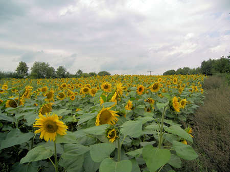 a field of sunflowers Stock Photo - 679859