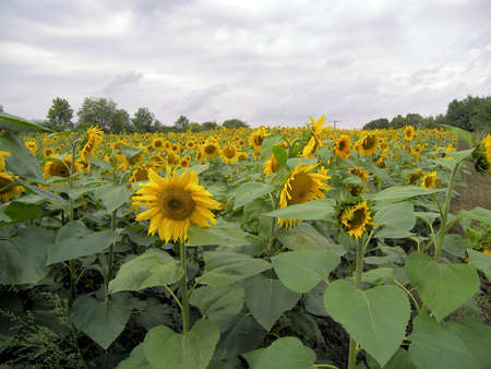 a field of sunflowers Stock Photo - 679858