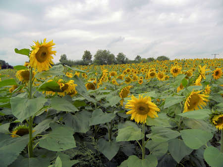 a field of sunflowers Stock Photo - 679857