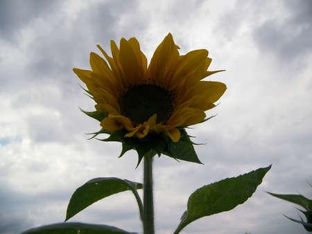 nice sunflower Stock Photo - 679852