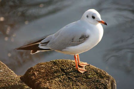 sitting gull photo