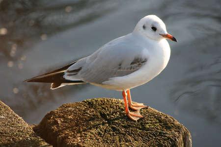 wingspan: sitting gull Stock Photo