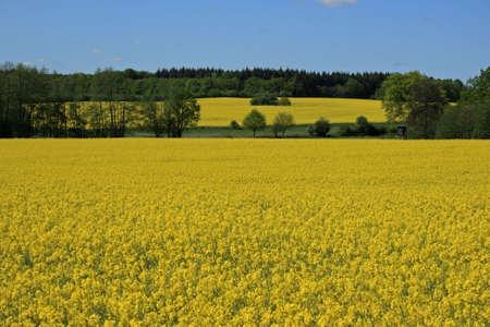 coleseed: nice yellow rape field Stock Photo