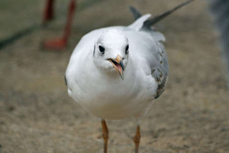 larus: nice sea gull close up (larus)