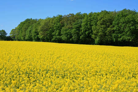 blossoming yellow flower tree: A picture of a vast meadow, covered in yellow flowers over summer