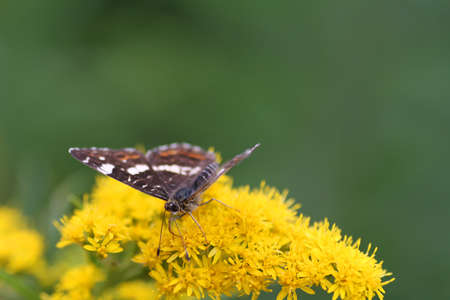 A closeup of a fragile-looking white butterfly resting on some flowers photo