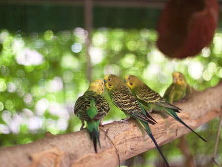 inseparable: bird