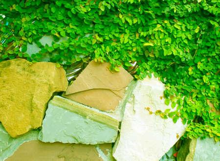 ivy wall: Wall ivy