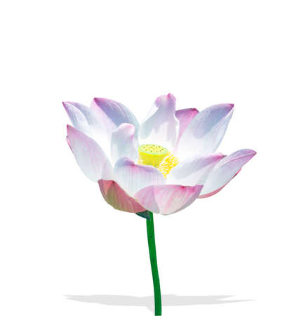 The lotus isolated on a white background. Stock Photo