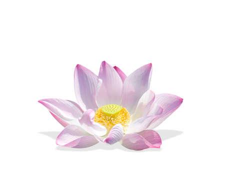 nelumbinis: The lotus isolated on a white background. Stock Photo