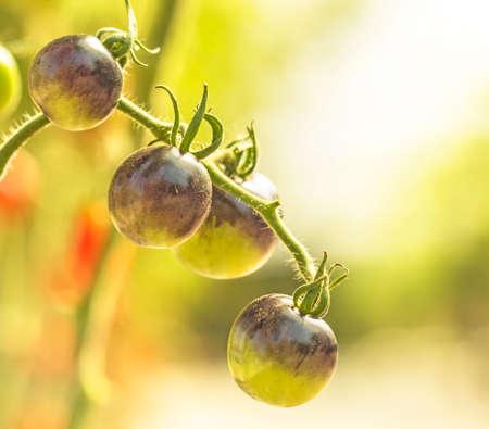 tomato food  background