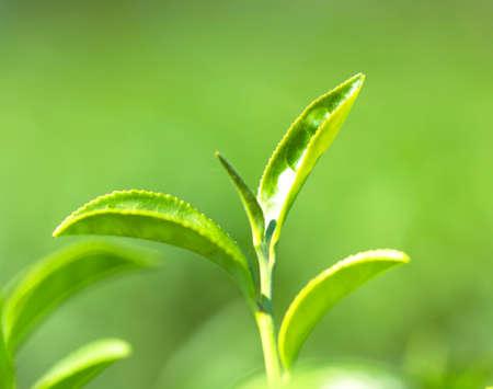 Green tea agricultural landscape Stock Photo