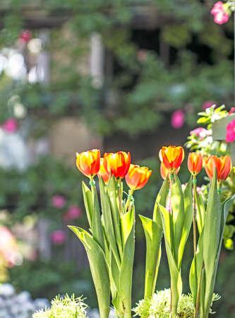 Tulip background blurred Archivio Fotografico