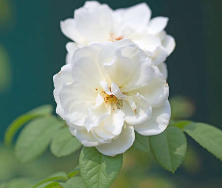Natural white roses in the outdoor garden  background
