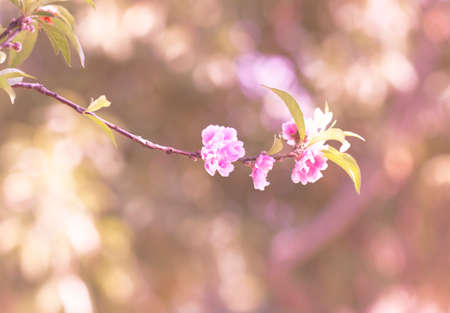 Beautiful nature, pink cherry blossoms and bokeh