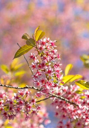 Sakura flowers blooming blossom blur background bokeh