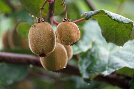Kiwi's op een plantage