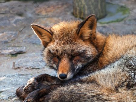 dodgy: Small red fox sleeping