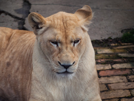 agitated: White lioness - slightly agitated look