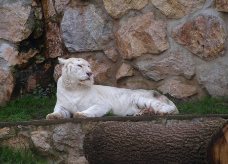tigresa: Tigresa blanca que se acuesta Foto de archivo