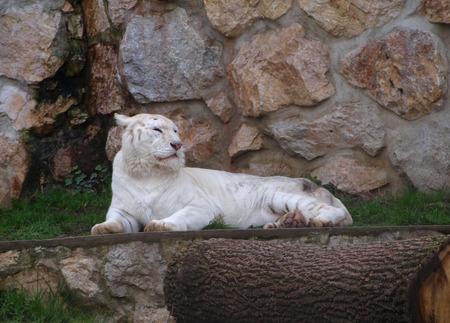 tigress: White tigress lying down