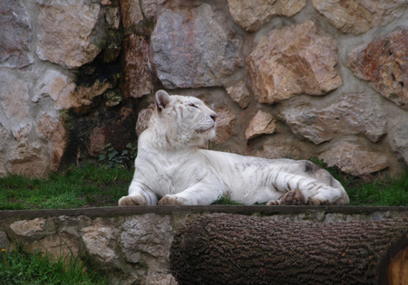 tigress: White tigress looking to her side