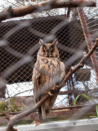 talons: The Long-Eared Owl - standing on a branch in a cage