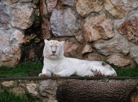 tigresa: Tigresa blanca descansando por la pared rocosa