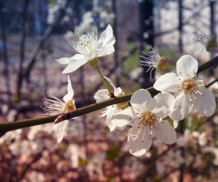 white blossom: White blossom flowers - stylized
